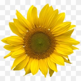 Sunflower Honey Sunflower Field Bunga Matahari Kartun Png