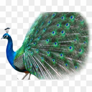 free peacock image png transparent images pikpng free peacock image png transparent